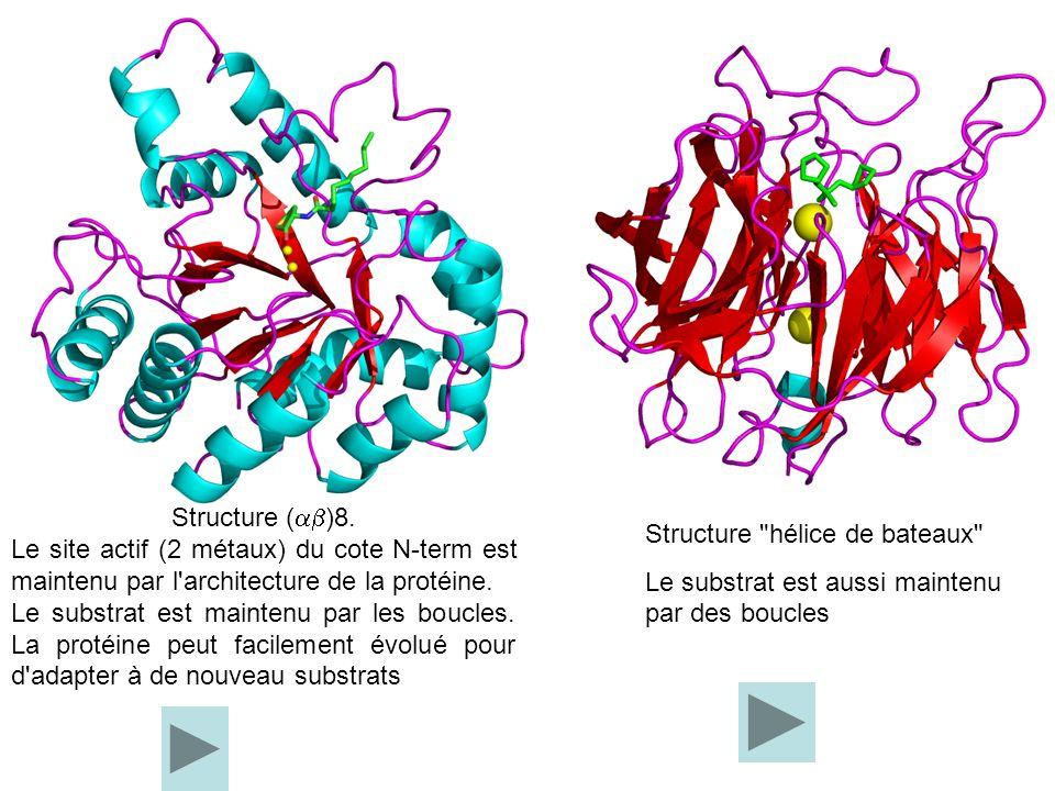 Structure (ab)8. Le site actif (2 métaux) du cote N-term est maintenu par l architecture de la protéine.