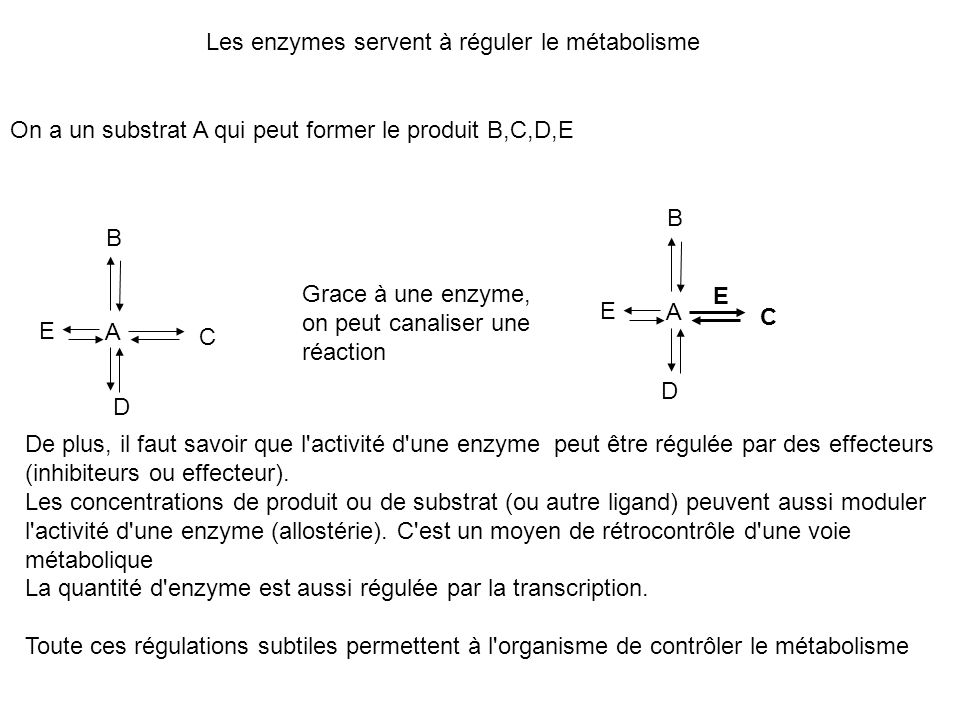 Les enzymes servent à réguler le métabolisme