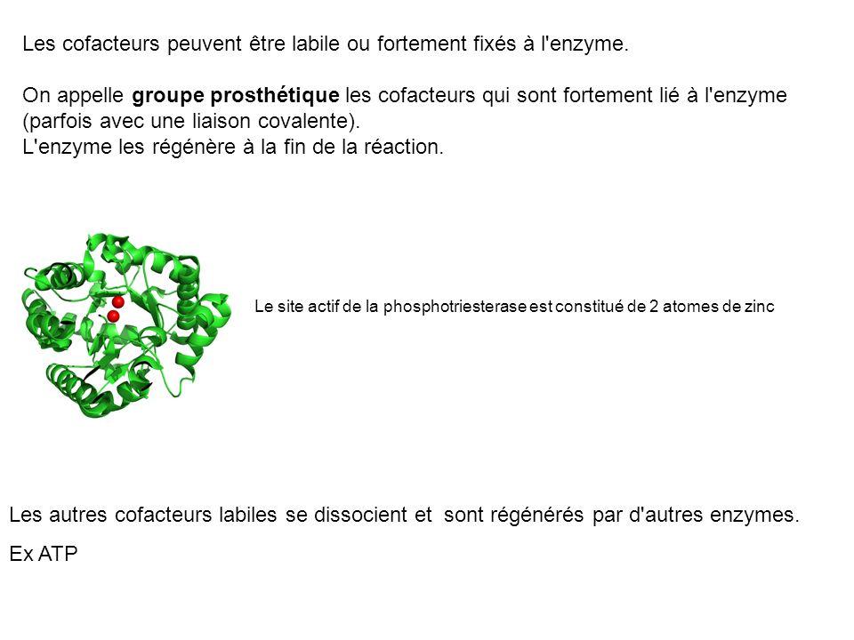 Les cofacteurs peuvent être labile ou fortement fixés à l enzyme.