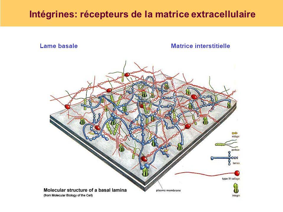 Intégrines: récepteurs de la matrice extracellulaire