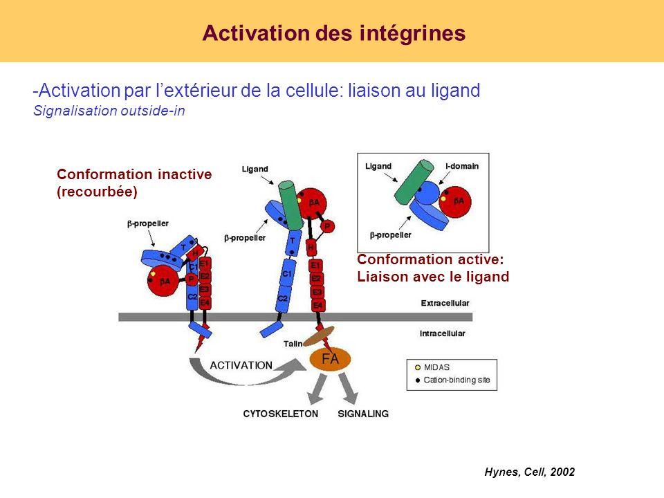 Activation des intégrines
