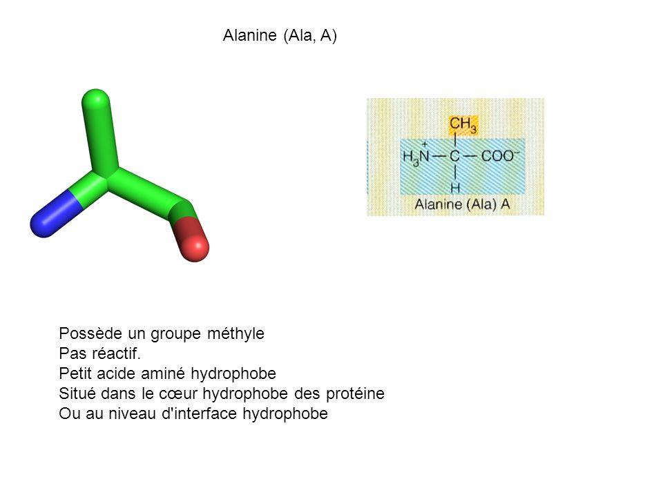 Alanine (Ala, A) Possède un groupe méthyle. Pas réactif. Petit acide aminé hydrophobe. Situé dans le cœur hydrophobe des protéine.