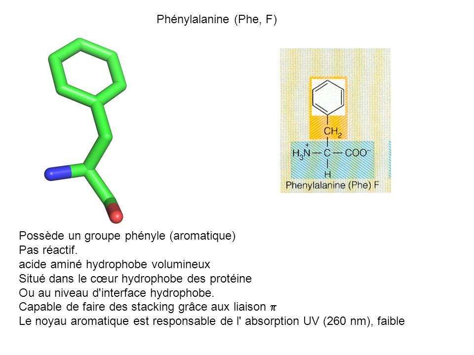 Phénylalanine (Phe, F) Possède un groupe phényle (aromatique) Pas réactif. acide aminé hydrophobe volumineux.