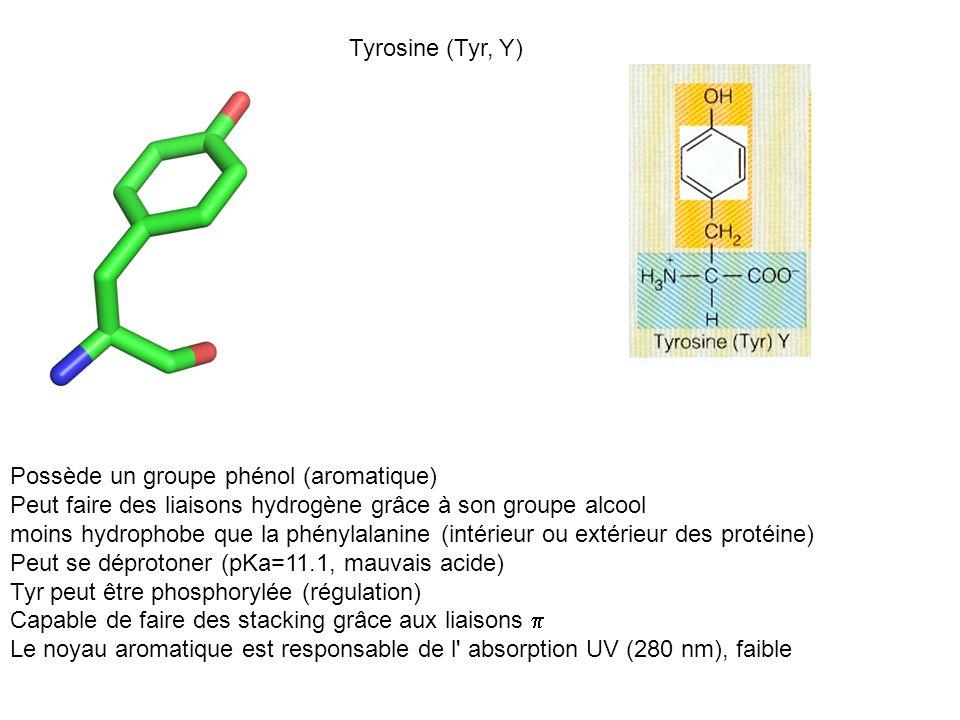 Tyrosine (Tyr, Y) Possède un groupe phénol (aromatique) Peut faire des liaisons hydrogène grâce à son groupe alcool.