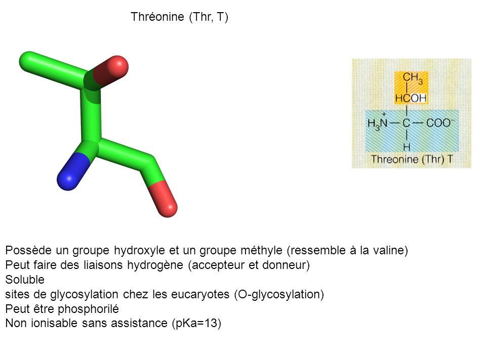 Thréonine (Thr, T) Possède un groupe hydroxyle et un groupe méthyle (ressemble à la valine) Peut faire des liaisons hydrogène (accepteur et donneur)