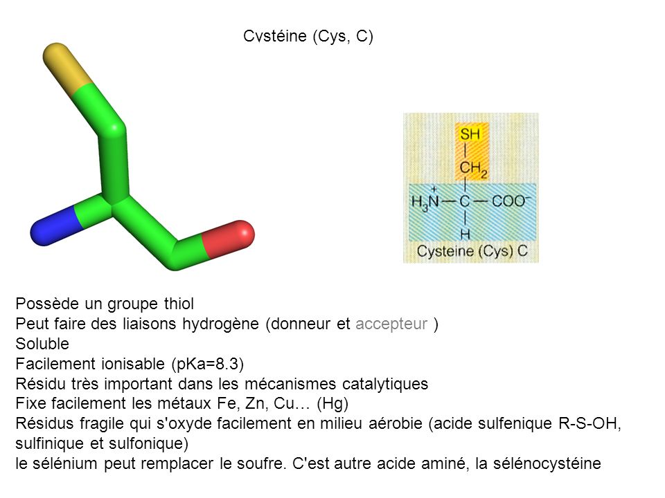Cystéine (Cys, C) Possède un groupe thiol. Peut faire des liaisons hydrogène (donneur et accepteur )