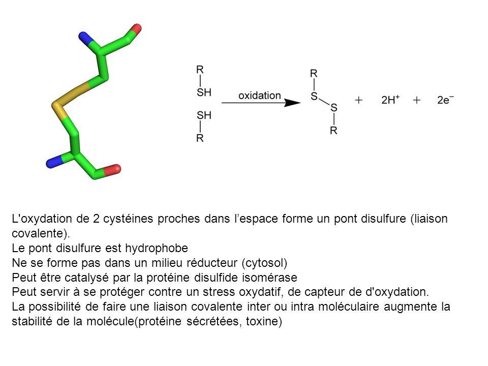 L oxydation de 2 cystéines proches dans l'espace forme un pont disulfure (liaison covalente).