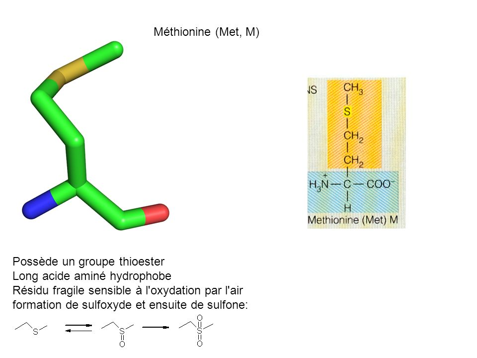 Méthionine (Met, M) Possède un groupe thioester. Long acide aminé hydrophobe. Résidu fragile sensible à l oxydation par l air.