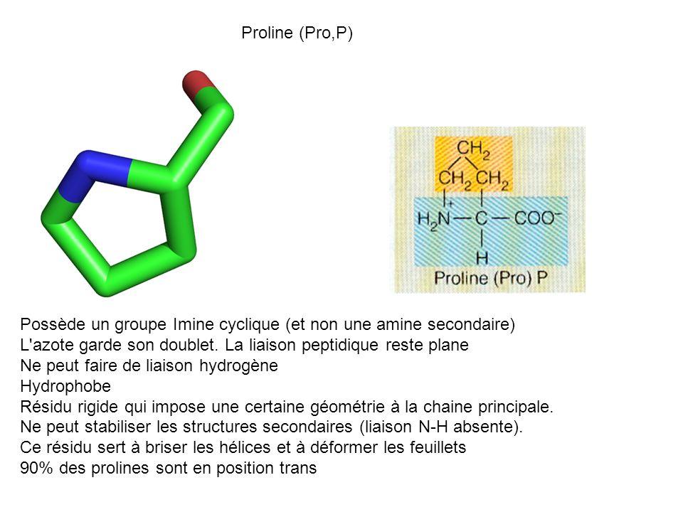 Proline (Pro,P) Possède un groupe Imine cyclique (et non une amine secondaire) L azote garde son doublet. La liaison peptidique reste plane.
