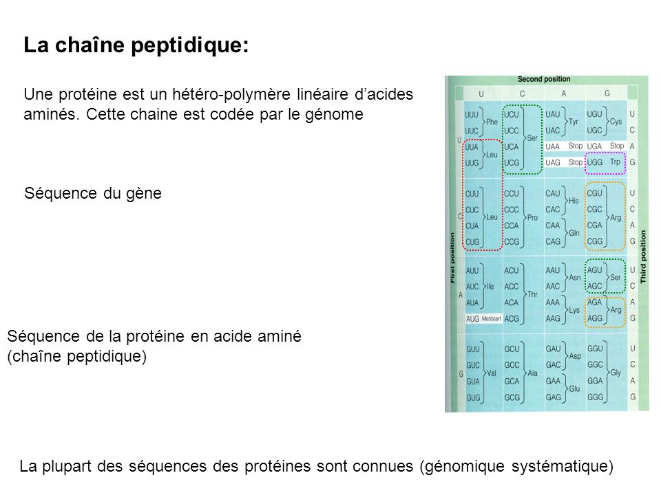 La chaîne peptidique: Une protéine est un hétéro-polymère linéaire d'acides aminés. Cette chaine est codée par le génome.