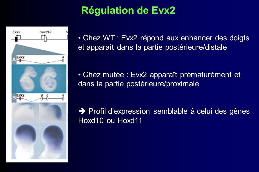 Régulation de Evx2Chez WT : Evx2 répond aux enhancer des doigts et apparaît dans la partie postérieure/distale.