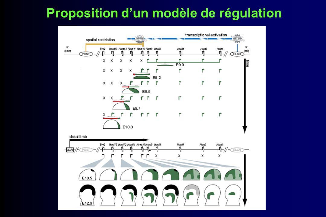 Proposition d'un modèle de régulation