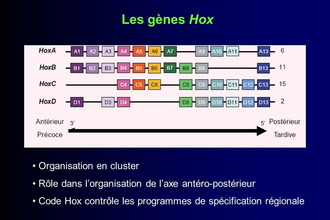 Les gènes Hox Organisation en cluster