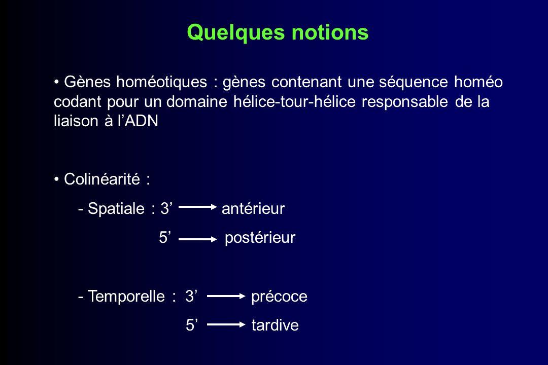 Quelques notions Gènes homéotiques : gènes contenant une séquence homéo codant pour un domaine hélice-tour-hélice responsable de la liaison à l'ADN.