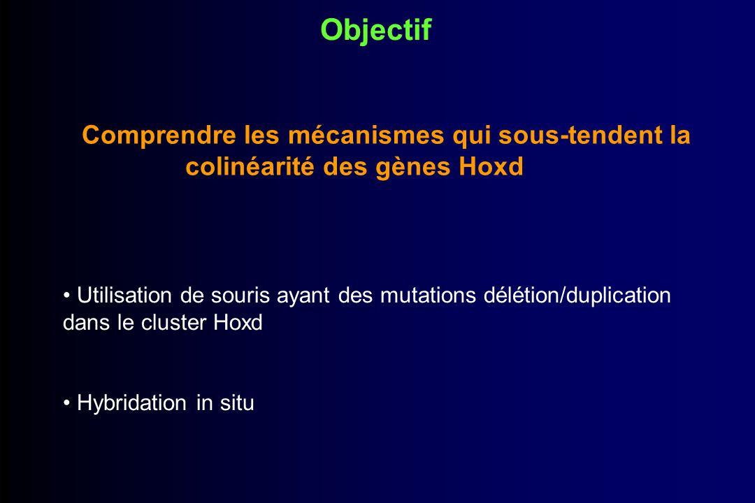 Objectif Comprendre les mécanismes qui sous-tendent la colinéarité des gènes Hoxd.