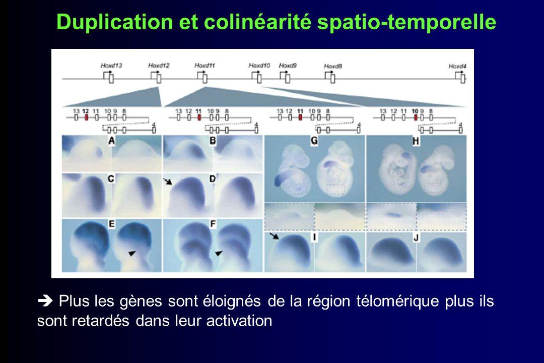 Duplication et colinéarité spatio-temporelle