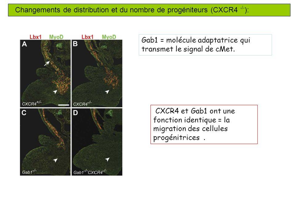 Changements de distribution et du nombre de progéniteurs (CXCR4 -/-):