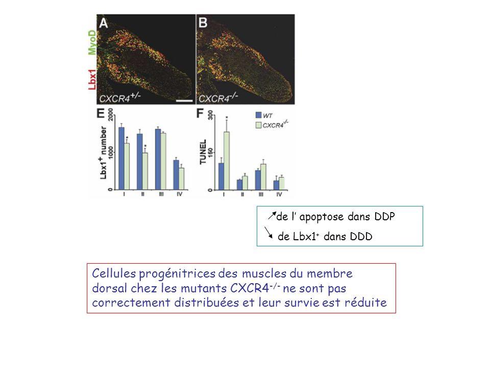 de l' apoptose dans DDP de Lbx1+ dans DDD.