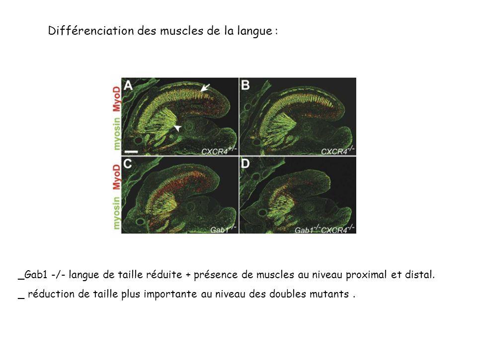 Différenciation des muscles de la langue :