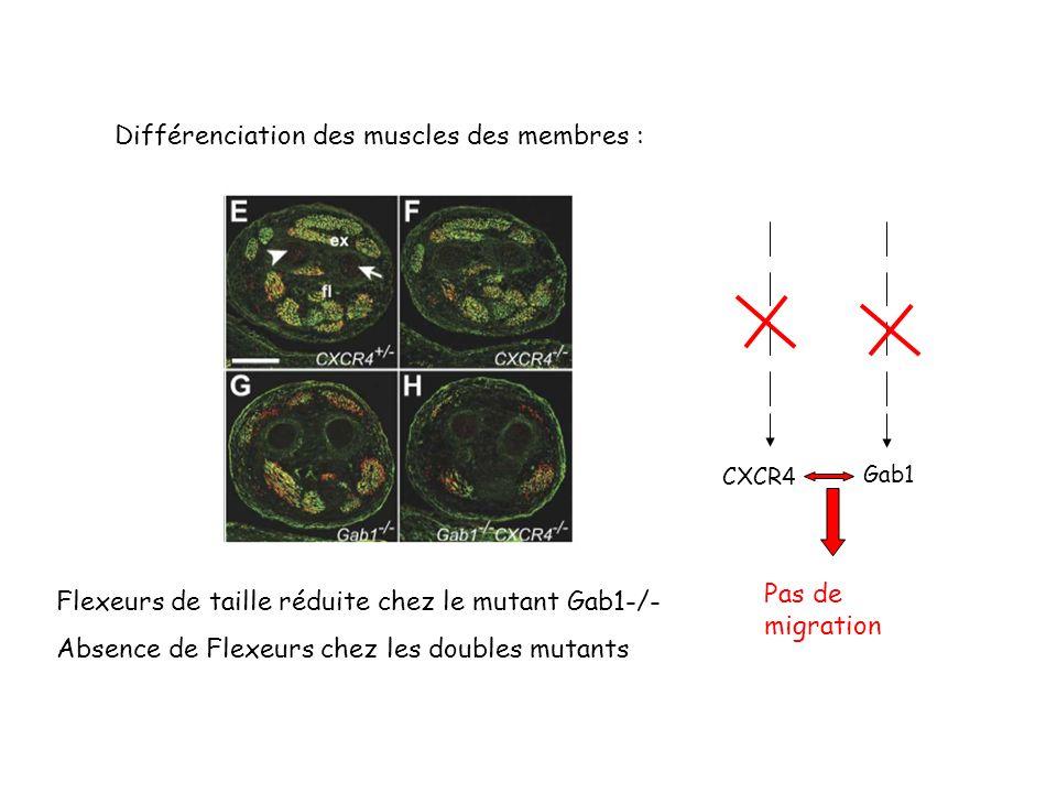 Différenciation des muscles des membres :