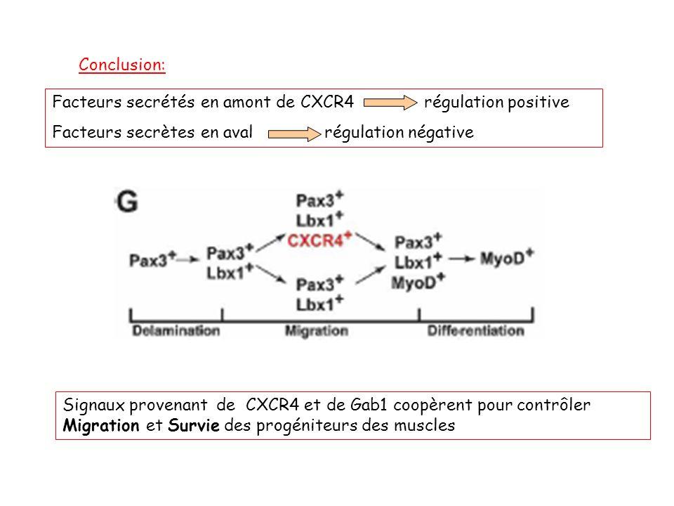 Conclusion: Facteurs secrétés en amont de CXCR4 régulation positive. Facteurs secrètes en aval régulation négative.
