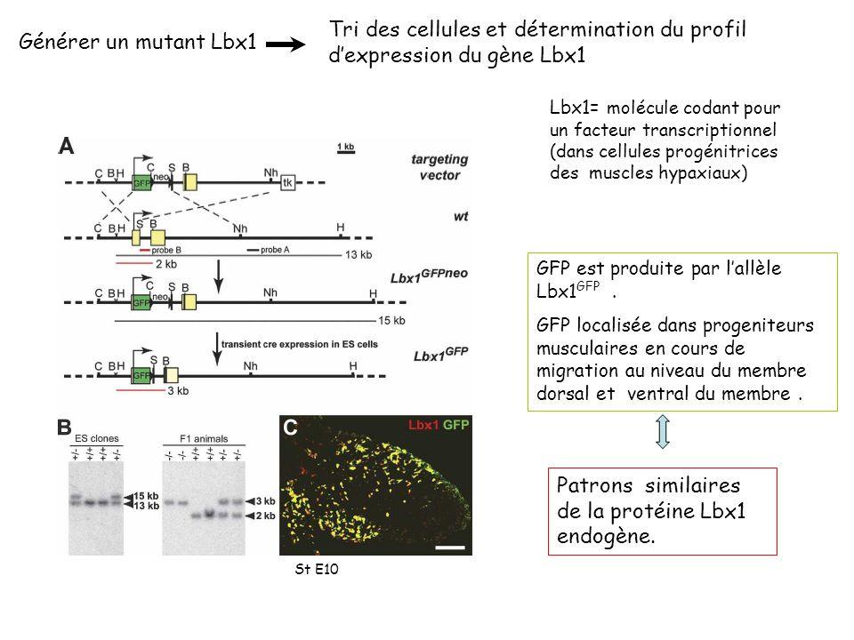 Tri des cellules et détermination du profil d'expression du gène Lbx1