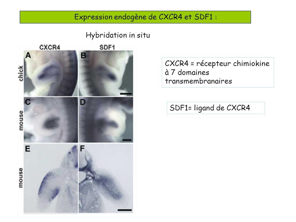 Expression endogène de CXCR4 et SDF1 :