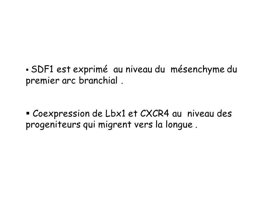 SDF1 est exprimé au niveau du mésenchyme du premier arc branchial .