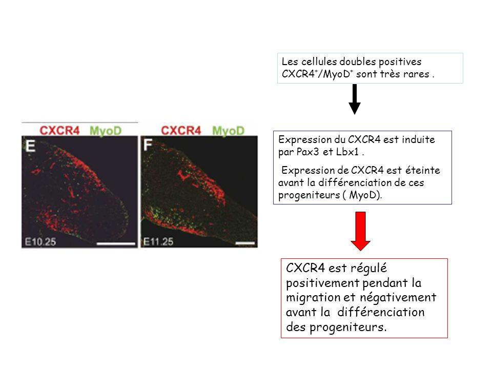 Les cellules doubles positives CXCR4+/MyoD+ sont très rares .