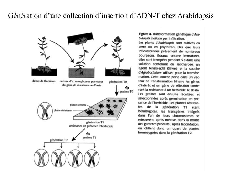 Génération d'une collection d'insertion d'ADN-T chez Arabidopsis