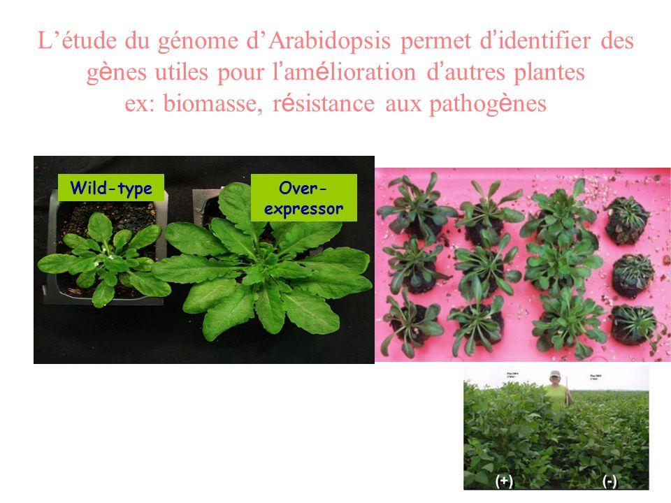 L'étude du génome d'Arabidopsis permet d'identifier des gènes utiles pour l'amélioration d'autres plantes ex: biomasse, résistance aux pathogènes