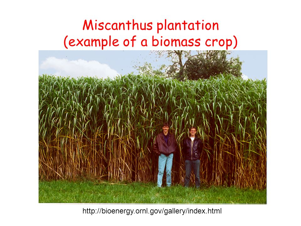 Miscanthus plantation (example of a biomass crop)