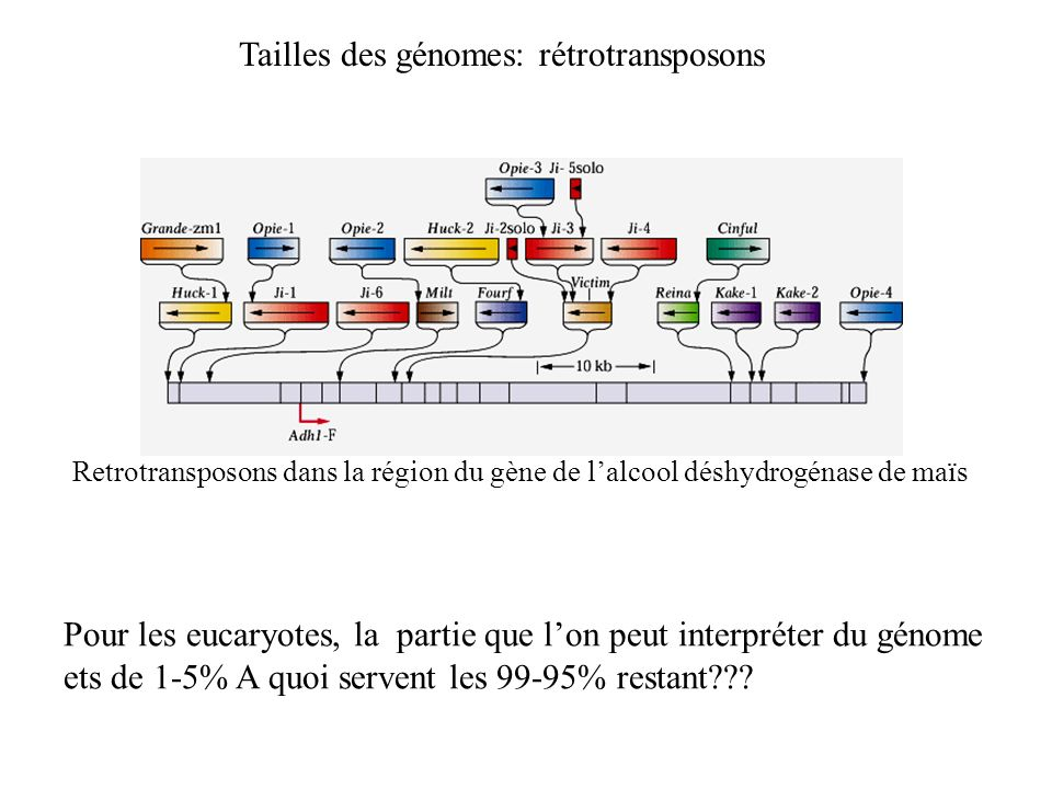 Tailles des génomes: rétrotransposons
