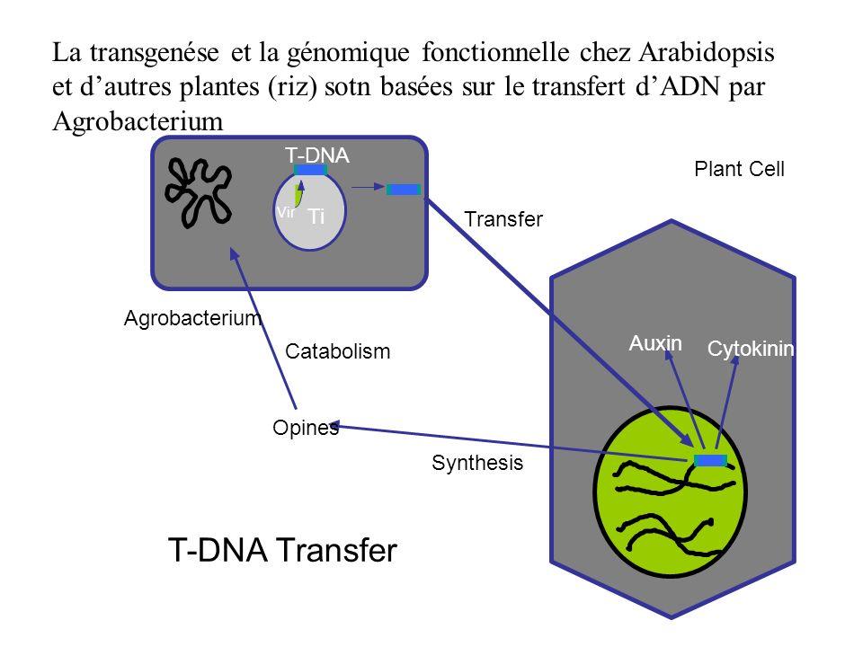 La transgenése et la génomique fonctionnelle chez Arabidopsis et d'autres plantes (riz) sotn basées sur le transfert d'ADN par Agrobacterium