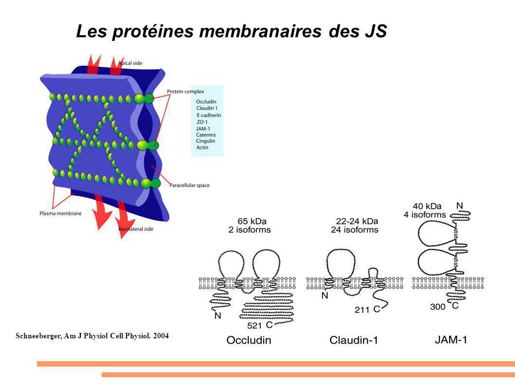 Les protéines membranaires des JS