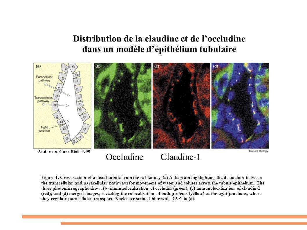 Distribution de la claudine et de l'occludine dans un modèle d'épithélium tubulaire