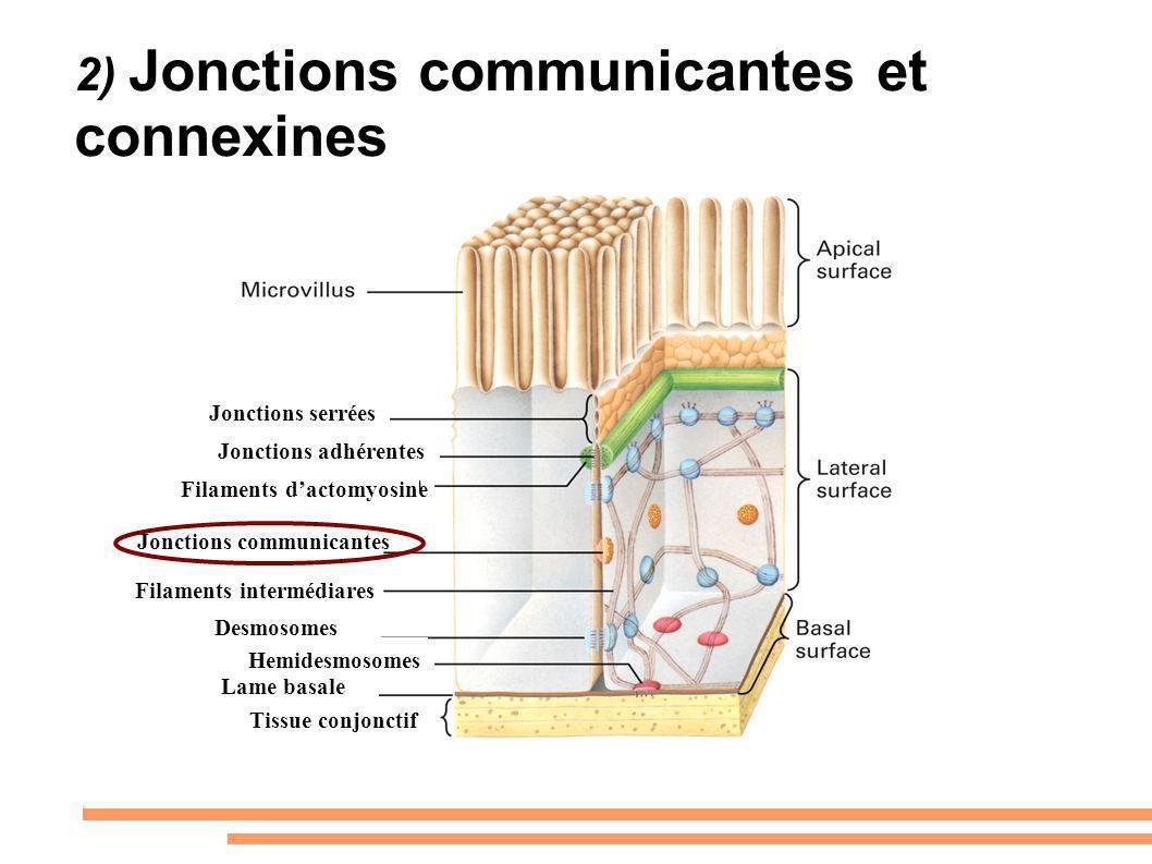 2) Jonctions communicantes et connexines