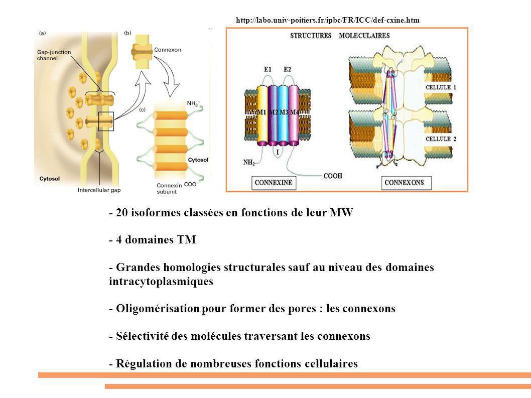 - 20 isoformes classées en fonctions de leur MW - 4 domaines TM