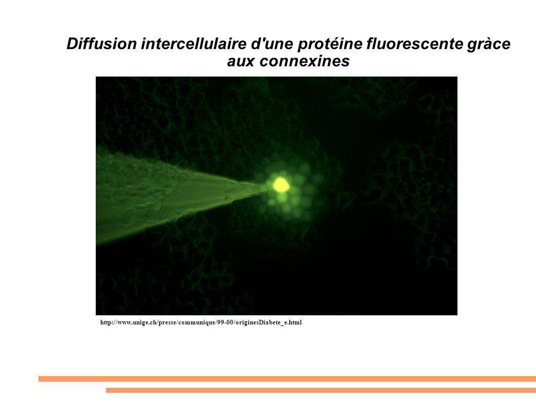 Diffusion intercellulaire d une protéine fluorescente gràce aux connexines