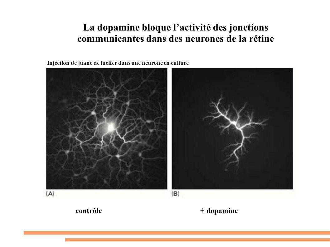 La dopamine bloque l'activité des jonctions communicantes dans des neurones de la rétine
