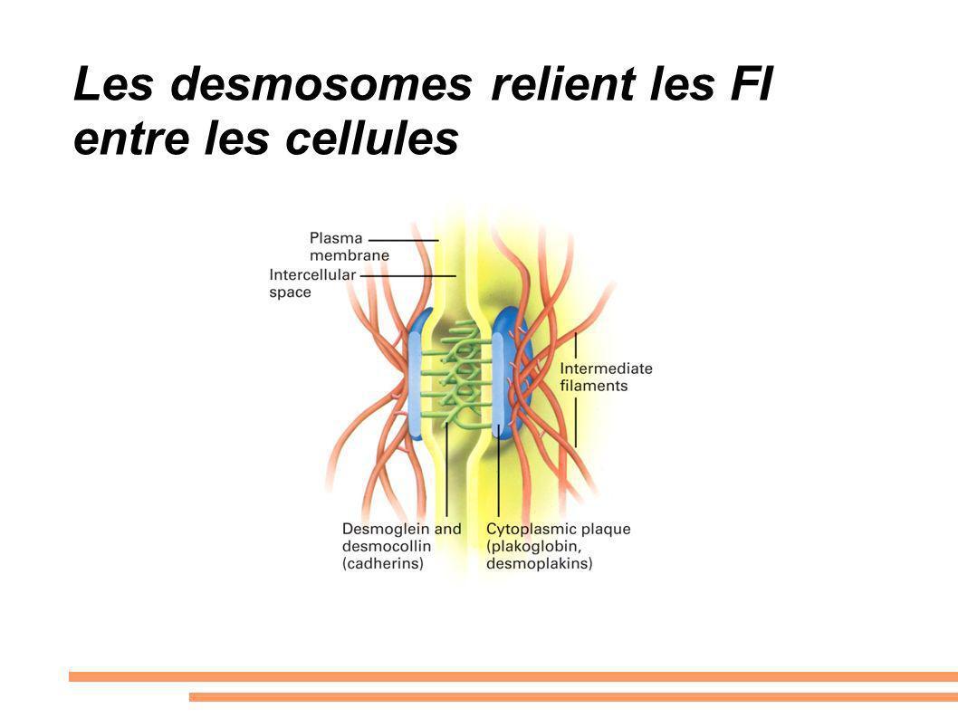 Les desmosomes relient les FI entre les cellules