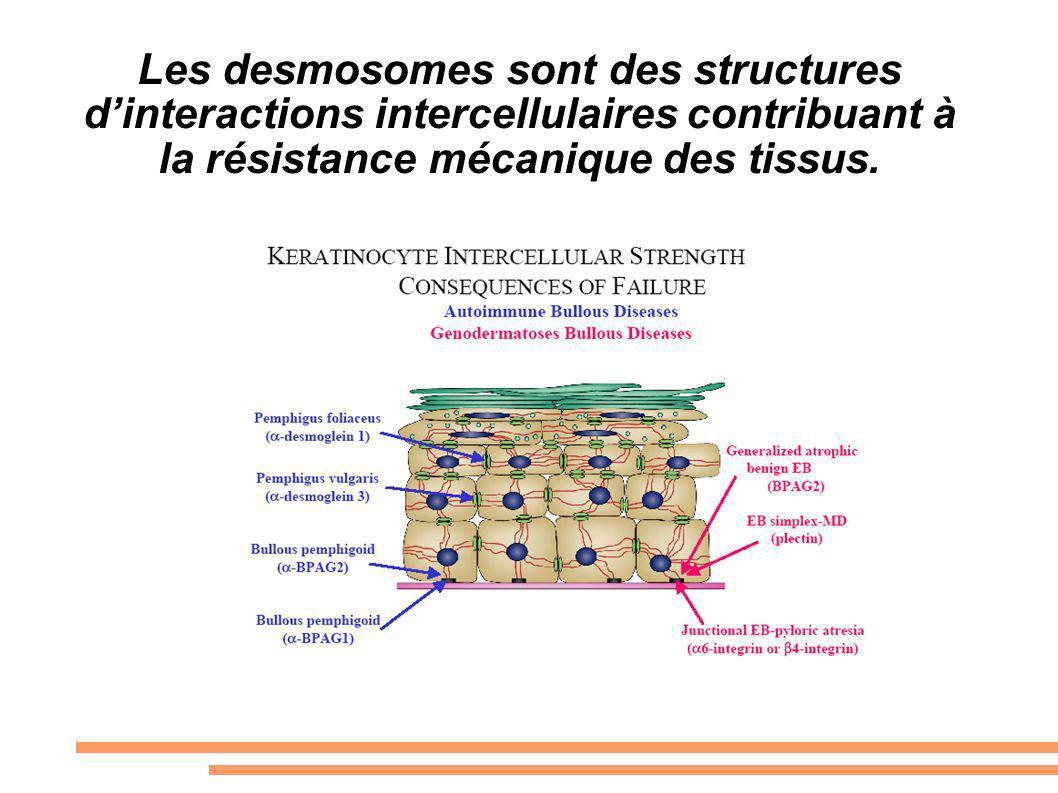 Les desmosomes sont des structures d'interactions intercellulaires contribuant à la résistance mécanique des tissus.