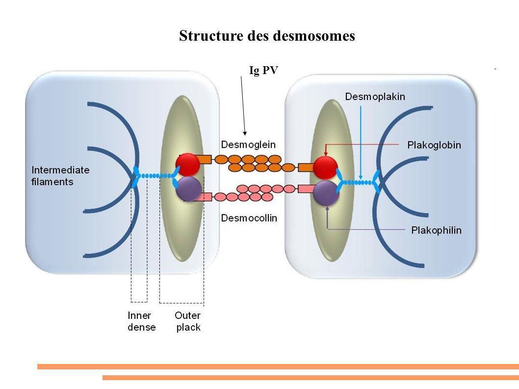 Structure des desmosomes