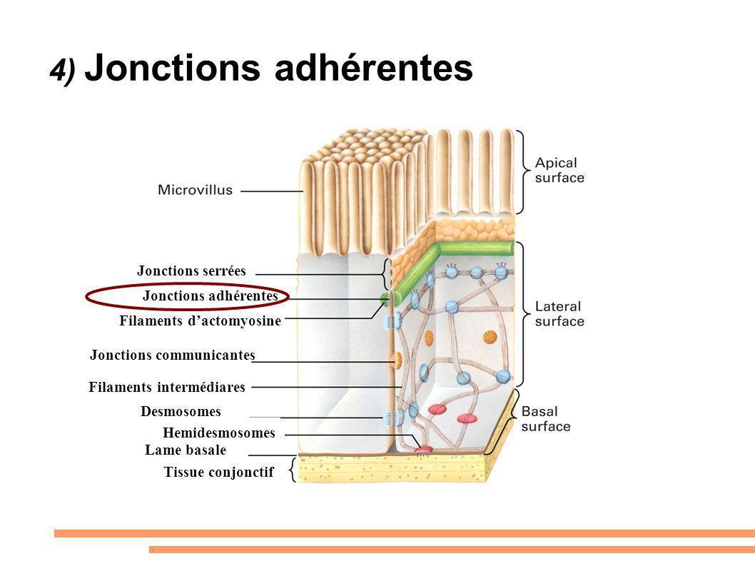 4) Jonctions adhérentes