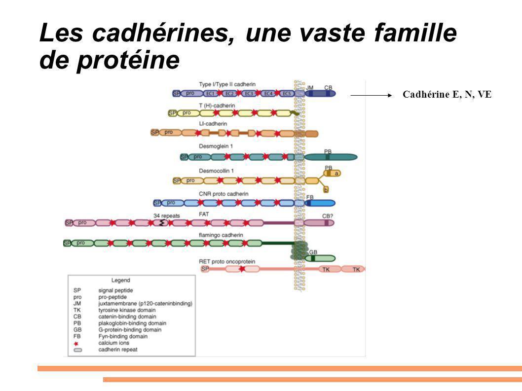 Les cadhérines, une vaste famille de protéine