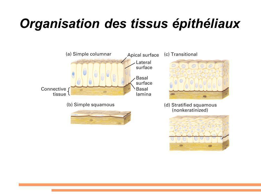 Organisation des tissus épithéliaux