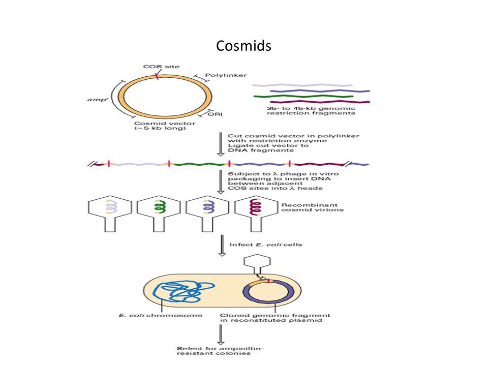 Cosmids