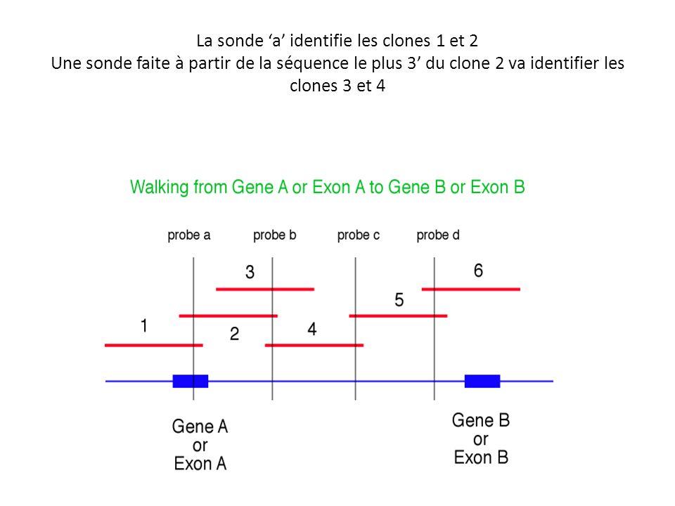 La sonde 'a' identifie les clones 1 et 2 Une sonde faite à partir de la séquence le plus 3' du clone 2 va identifier les clones 3 et 4
