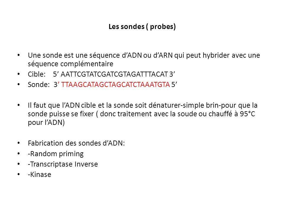 Les sondes ( probes) Une sonde est une séquence d'ADN ou d'ARN qui peut hybrider avec une séquence complémentaire.