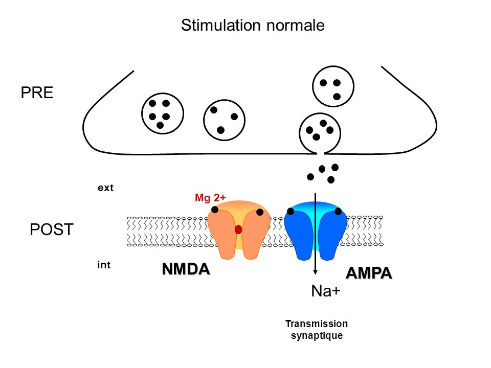 Stimulation normale PRE POST NMDA AMPA Na+ ext Mg 2+ int Transmission